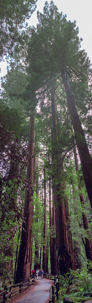 Coast redwoods, Muir Woods