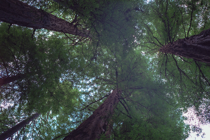 Looking up at the redwoods