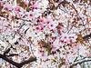 Apple blossoms in the Public Garden