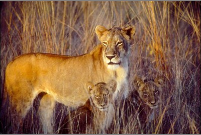 Lioness & Cubs, Bob Peavy