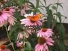 hershey garden butterfly u