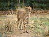 Cheetah at the zoo