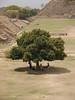 monte alban tree