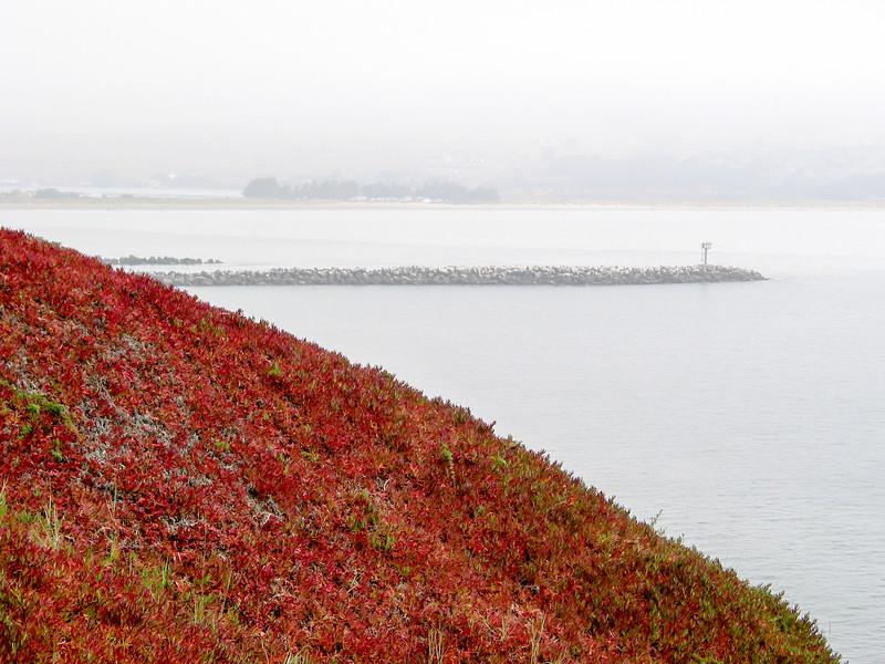 Bodega Head, ice plants