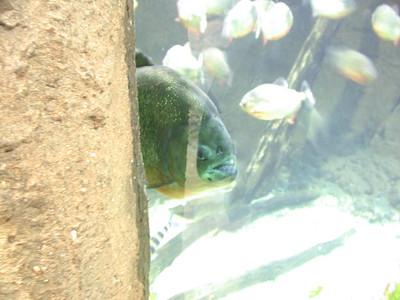 piranha (aka uglyfish 2)
