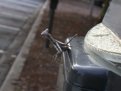Praying mantis hanging out on the parking meter