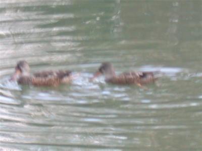 Ducks frolic at Hopeland Gardens