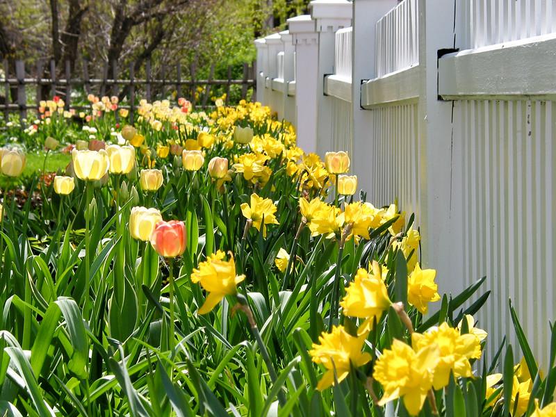 Neighbor's tulips
