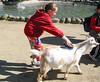 Isabel brushing a goat