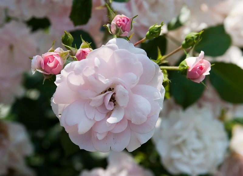 Around home, rose bush