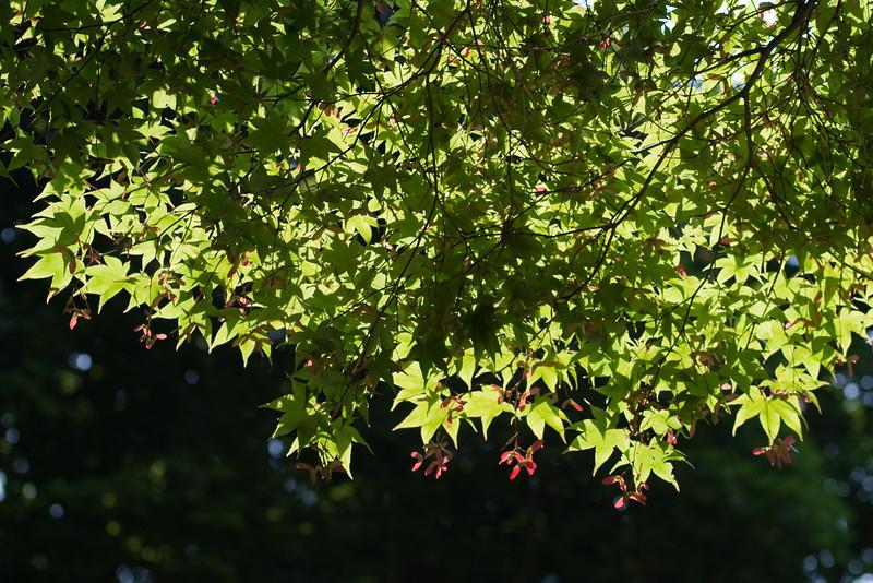Mt. Auburn cemetery, maple leaves