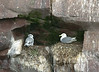 Kittiwakes: an adult on the right, and a juvenile on the left, judging by its markings, though it seems the same size!