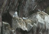 More kittiwakes nesting along the ledges.