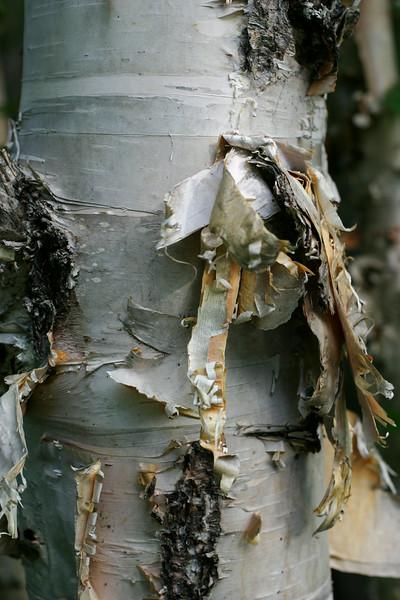 A paperbark birch trunk