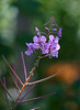 The ubiquitous Fireweed