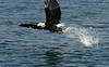 Bald eagle makes fish strike
