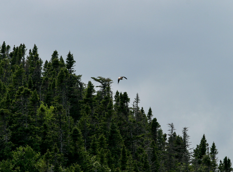 Bald eagle over trees