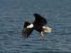 Bald eagle carrying away fish