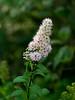 Meadowsweet (Spirea)