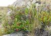 Wild blueberries on the granite slopes