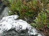 Quartz outcropping in granite