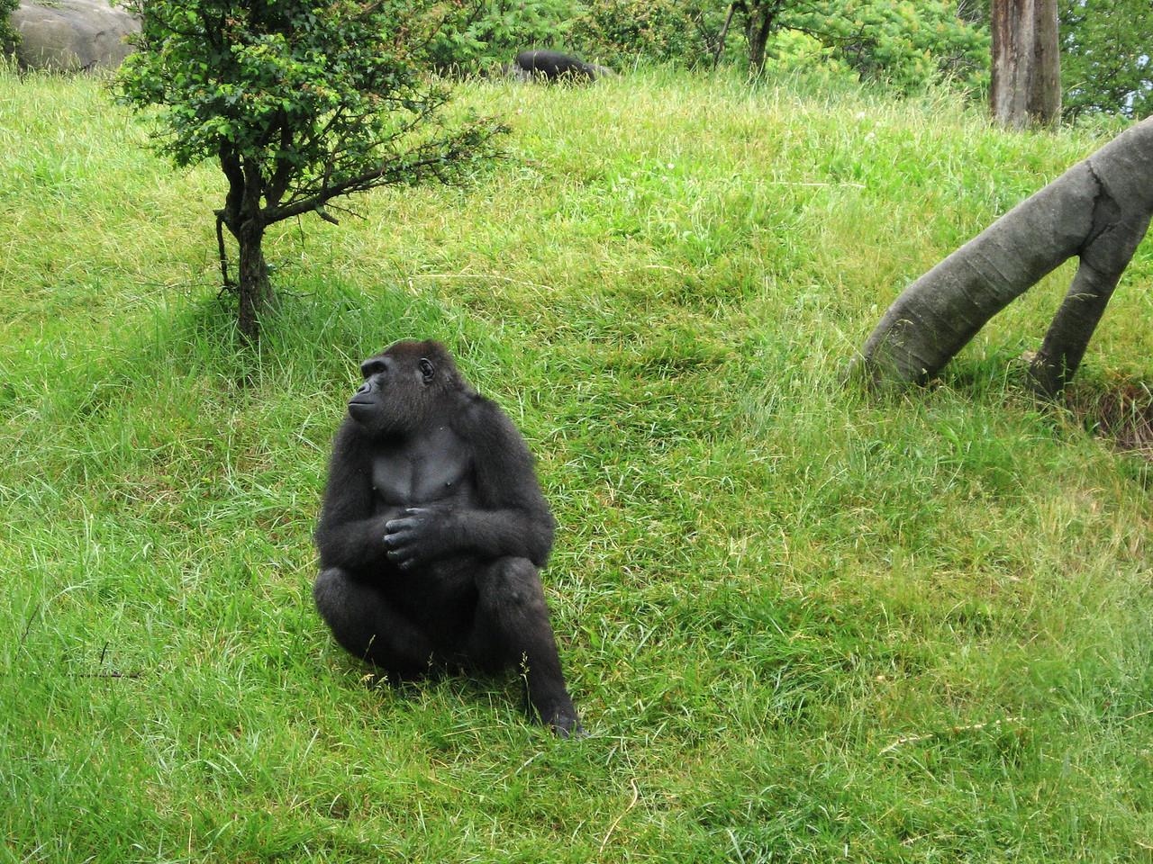 Chimp at the Zoo