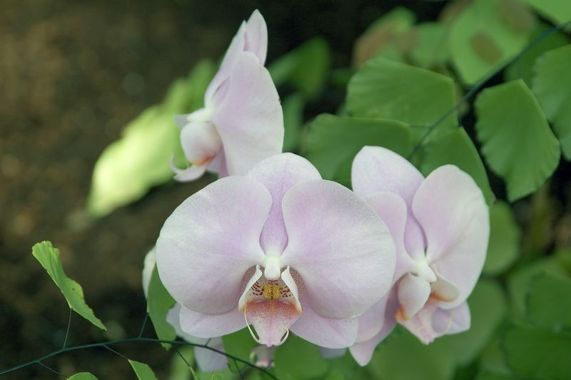 This is a Phalaenopsis (fail-an-op-sis) orchid. Do you know what makes an orchid an orchid? In orchids, the sexual parts of the flower, the stamens and pistils, are fused into a single structure called the 'column.' In the Phalaenopsis orchid shown here, the' column' is in the center of the flower just above the 'lip'. (Caption contributed by Tom Oder.)