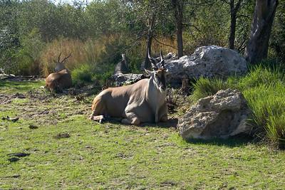 A large Thompson's Gazelle