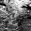 Lake Ferns in Black and White