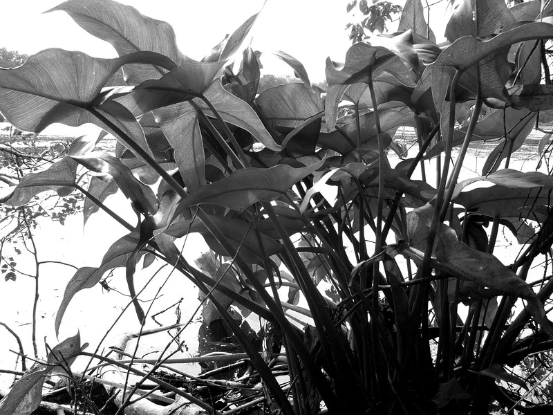 Black and White Lake Plant