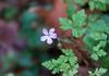 Little purple flower in the woods