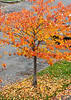 Cherry tree in fall foliage