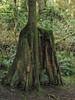 Mossy tree near Snoqualmie