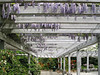 Arboretum: wisteria at visitor center