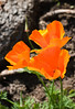 Vividly colorful California poppies