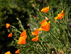 California poppies in the back garden