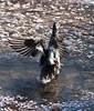 A duck taking a bath in a fountain