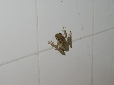 A dominican frog!