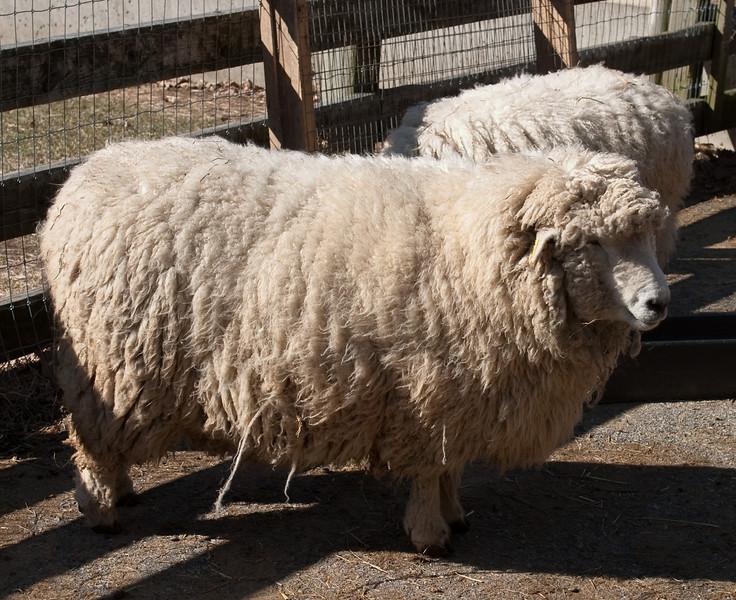 Pre-shorn sheep