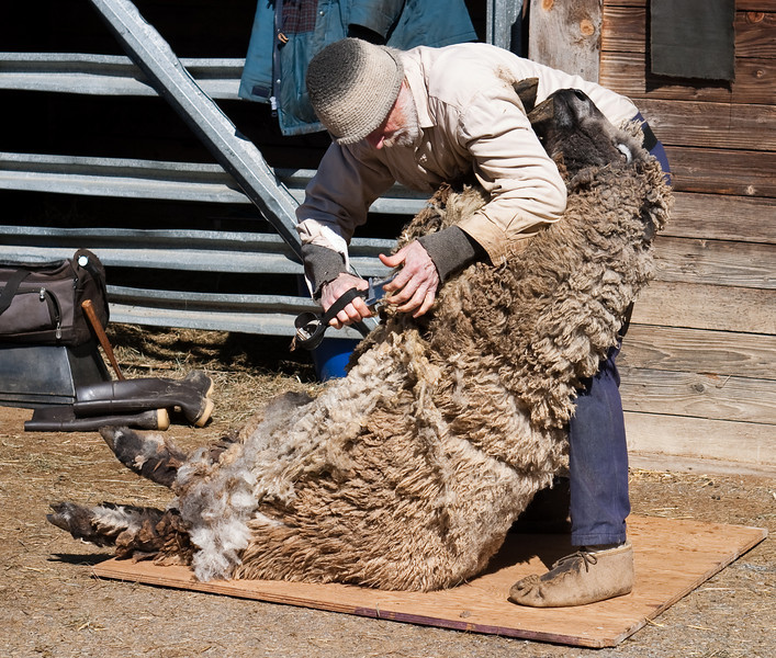Traditional sheep-shearing
