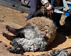 Shearing a grey sheep