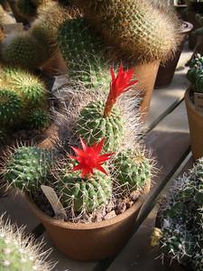 cacti_flowers