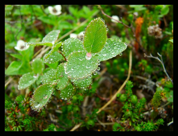 Tiny dewdrops bejewel the tundra in Archangel Valley.
