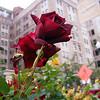 Restaurant Roses