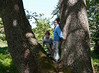 In Discovery Park, the kids playing on an enormous maple