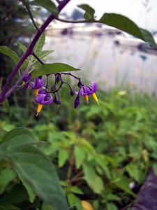 Purple Flowers Near the Dock