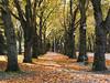 An allée of trees down Memorial Way