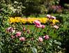 Roses at Butchart Gardens