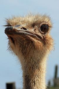 Ostrich - Aruba Ostrich Farm
