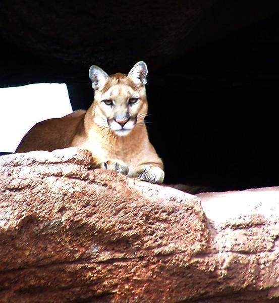 Az Trip - Desert Cat Front 004